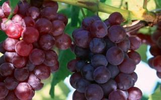 Сорт винограда Лидия : что нужно знать о нем, описание сорта, отзывы