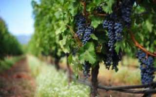 Виноград Фуршетный  : что нужно знать о нем, описание сорта, отзывы
