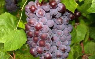 Виноград Свенсон Ред: что нужно знать о нем, описание сорта, отзывы