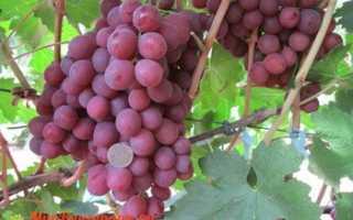 Виноград Нина: что нужно знать о нем, описание сорта, отзывы