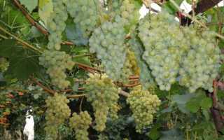 Виноград Сенека: что нужно знать о нем, описание сорта, отзывы