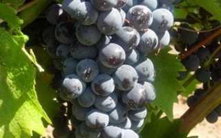 Виноград Черный Доктор (Кефесия): что нужно знать о нем, описание сорта, отзывы