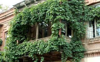 Виноград на балконе: что нужно знать о нем, описание сорта, отзывы