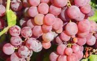 Виноград Рилайнс Пинк Сидлис (Reliance Seedless): что нужно знать о нем, описание сорта, отзывы