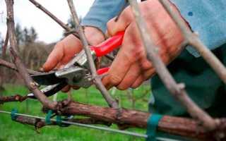 Виноград Дамский пальчик: описание сорта с фото, отзывы, посадка и уход