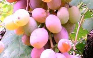 Виноград Алина: что нужно знать о нем, описание сорта, отзывы