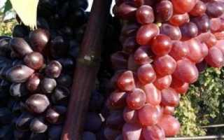 Виноград Юпитер: что нужно знать о нем, описание сорта, отзывы