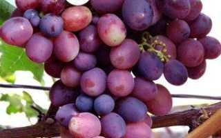 Виноград Лелик: что нужно знать о нем, описание сорта, отзывы