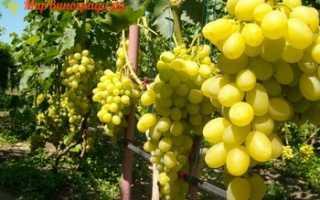 Виноград вива айка : что нужно знать о нем, описание сорта, отзывы
