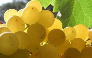 Сорт винограда Бианка: что нужно знать о нем, описание сорта, отзывы