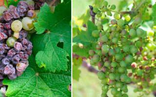 Заболевания винограда и меры борьбы с ними