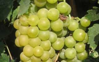 Виноград Мускат Блау: описание сорта с фото, отзывы, посадка и уход