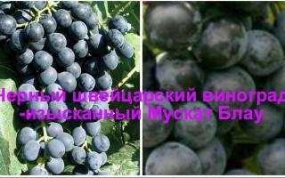 Виноград Мускат блау (Muscat Bleu): что нужно знать о нем, описание сорта, отзывы