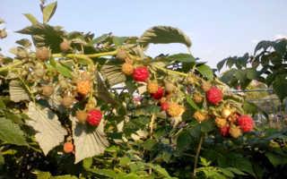 Сорт малины Геракл: описание и фото