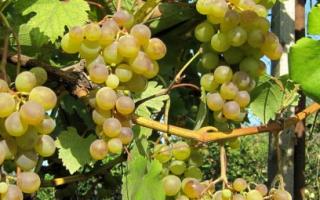 Виноград Галбена Ноу (Золотинка): что нужно знать о нем, описание сорта, отзывы
