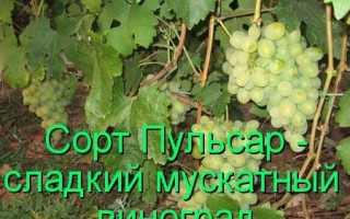 Виноград Пульсар: что нужно знать о нем, описание сорта, отзывы