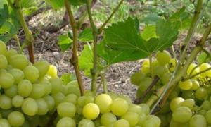 Виноград Надежда Аксайская. Описание, уход, фото
