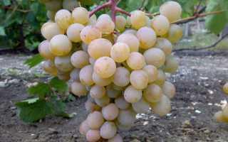 Сорт виноград краса дона: что нужно знать о нем, описание сорта, отзывы