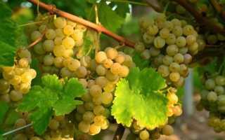 Виноград Алиготе: что нужно знать о нем, описание сорта, отзывы