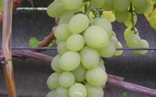 Виноград Нежность: что нужно знать о нем, описание сорта, отзывы