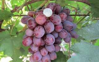 Виноград Граф Монте Кристо: описание сорта с фото, отзывы, посадка и уход