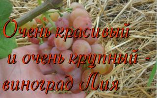 Сорт винограда Лия: что нужно знать о нем, описание сорта, отзывы
