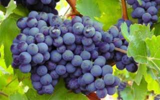 Виноград Минский розовый: описание сорта с фото, отзывы, посадка и уход