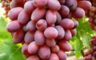 Виноград «Тайфи розовый»: описание сорта с фото, отзывы, посадка и уход