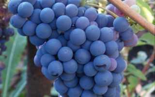 Виноград кишмиш уникальный: описание сорта с фото, отзывы, посадка и уход