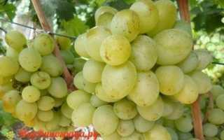 Виноград с молоком: что нужно знать о нем, описание сорта, отзывы