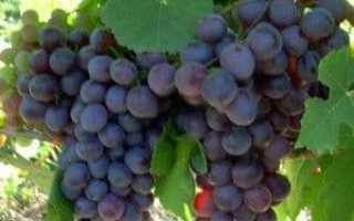Виноград Русский фиолетовый: описание сорта с фото, отзывы, посадка и уход