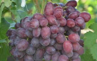 Виноград фрумоаса албэ: описание сорта с фото, отзывы, посадка и уход