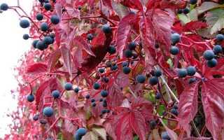Декоративный виноград для озеленения терасс