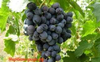 Виноград Мускат Кубанский: что нужно знать о нем, описание сорта, отзывы