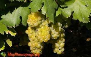 Виноград Мускат Италии: что нужно знать о нем, описание сорта, отзывы