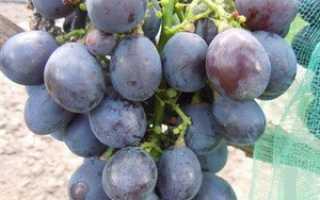Виноград Заветный: что нужно знать о нем, описание сорта, отзывы