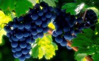 Виноград Красень: что нужно знать о нем, описание сорта, отзывы
