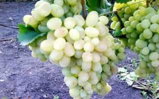 Виноград Светлый: что нужно знать о нем, описание сорта, отзывы