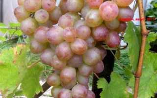 Сорт винограда Амирхан: что нужно знать о нем, описание сорта, отзывы