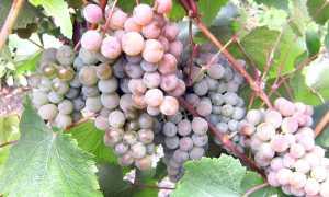 Виноград Белый Жемчуг: описание сорта с фото, отзывы, посадка и уход