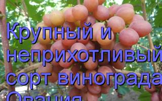 Виноград Овация: что нужно знать о нем, описание сорта, отзывы