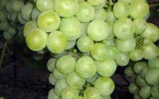 Виноград Мускат Черный: описание сорта с фото, отзывы, посадка и уход