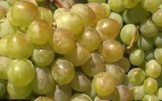 Виноград Тома: что нужно знать о нем, описание сорта, отзывы