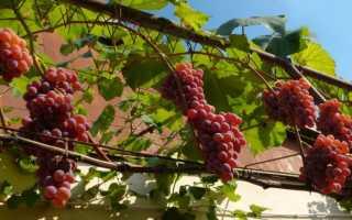 Виноград Розовая Дымка: описание сорта с фото, отзывы, посадка и уход