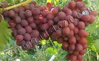 Виноград Подарок Ирине: описание сорта с фото, отзывы, посадка и уход