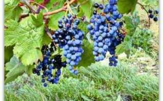 Сорт винограда загадка шарова: что нужно знать о нем, описание сорта, отзывы