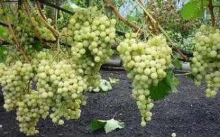 Сорт винограда Экстра: что нужно знать о нем, описание сорта, отзывы