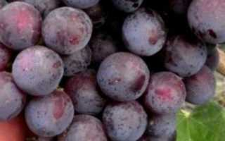 Сорт винограда Рошфор: что нужно знать о нем, описание сорта, отзывы