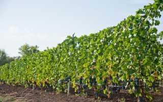 Виноград Цимлянский черный: описание сорта с фото, отзывы, посадка и уход