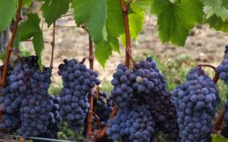 Технический сорт Виноград Альфа: что нужно знать о нем, описание сорта, отзывы
